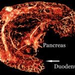BriteVu perfused mouse pancreas