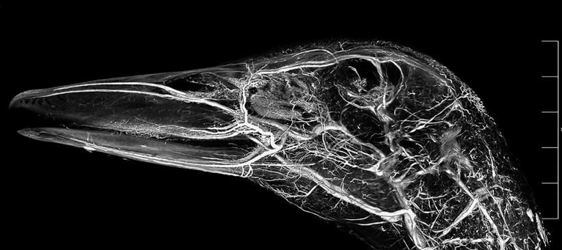 Pekin Duck Head Contrast CT Scan Using BriteVu