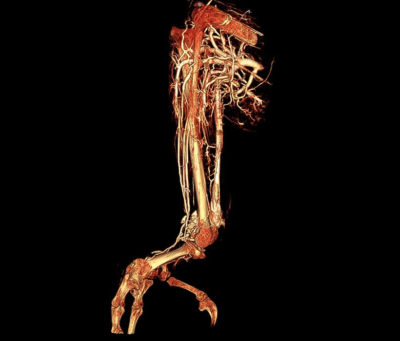Grey Parrot Leg Contrast Perfusion Using BriteVu