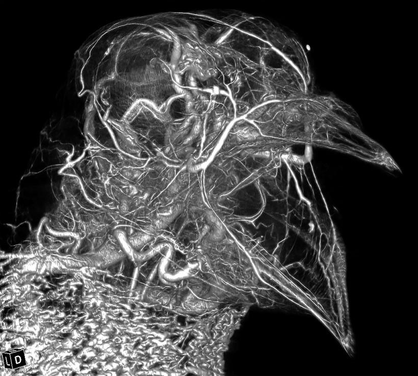 Pigeon Head High Radiodensity Contrast Perfusion Using BriteVu