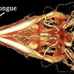 Argentine black and white tegu BriteVu arteriovenogram of the head.
