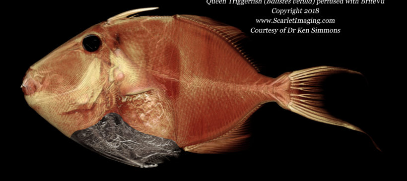 Queen Triggerfish perfused with BriteVu contrast agent