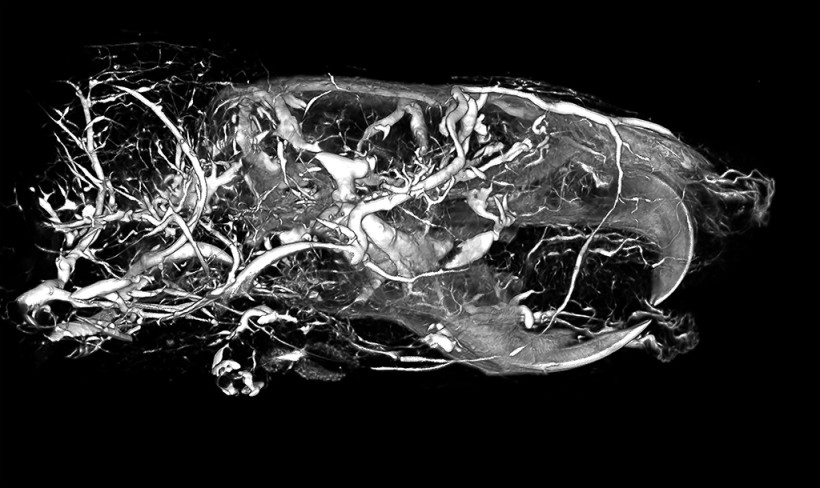 High Radiodensity Contrast Scan of a Rat Head Using BriteVu