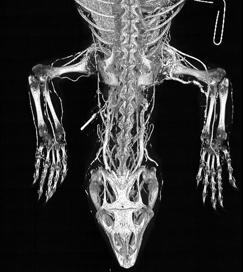 White Throated Monitor Contrast Perfusion Using BriteVu