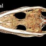 Alligator head using (whole body) BriteVu contrast arteriovenogram.