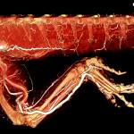 Bearded dragon whole body BriteVu arteriovenogram.