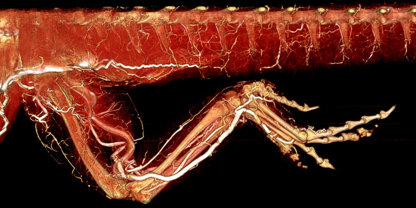 Bearded Dragon Leg and Tail Perfused with BriteVu
