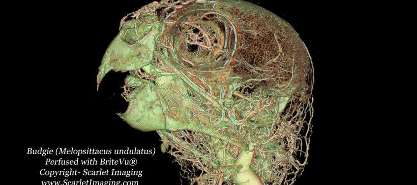 Budgie BriteVu anatomy