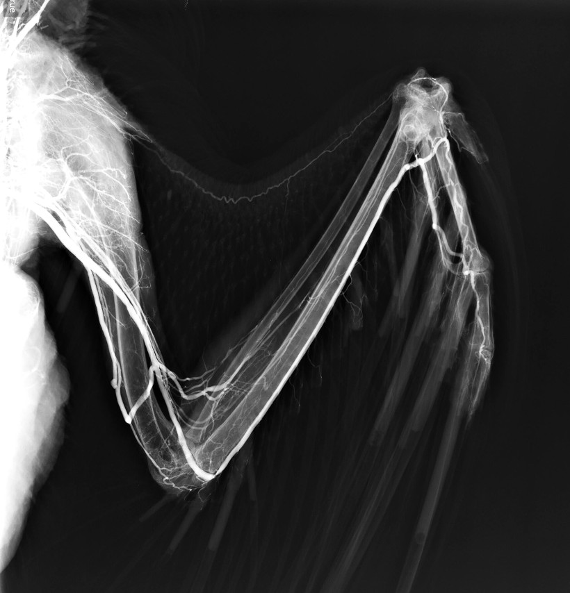 Golden Eagle Wing Angiogram Using BriteVu