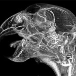 African Grey Parrot Head Contrast CT Scan Using BriteVu