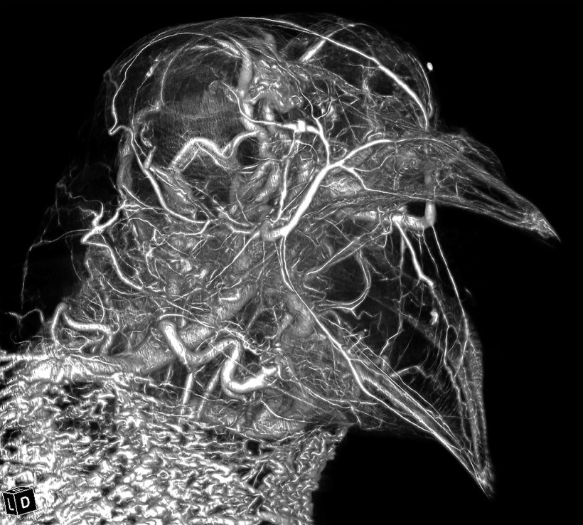 Pigeon Head High Radiodensity Contrast Perfusion Using BriteVu